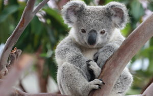 68651851-koala-wallpapers